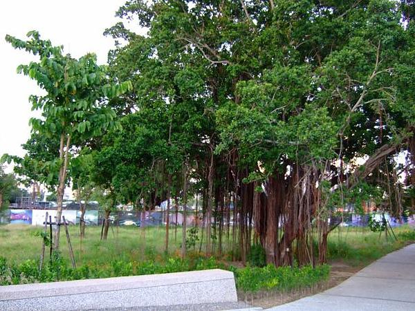 05. 大榕樹.JPG