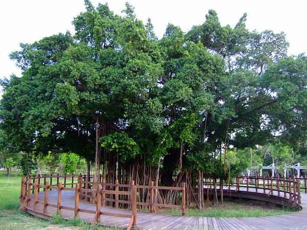 07. 榕樹.JPG