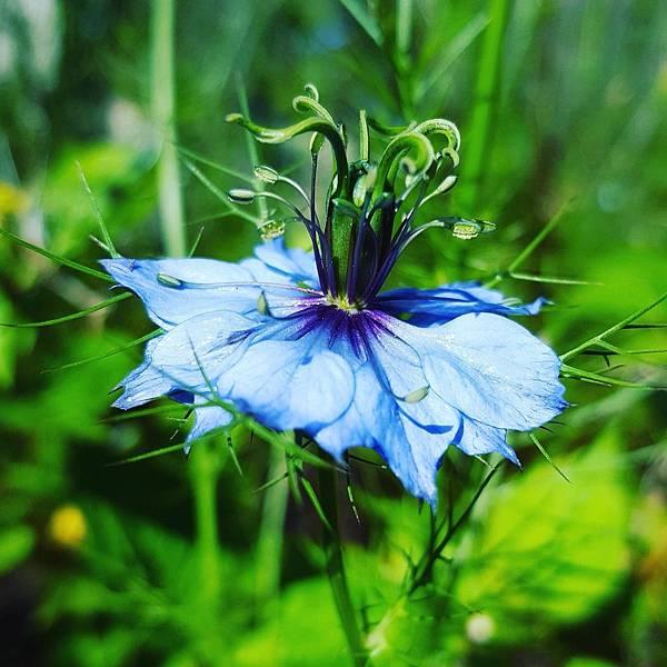 黑種草。植物照
