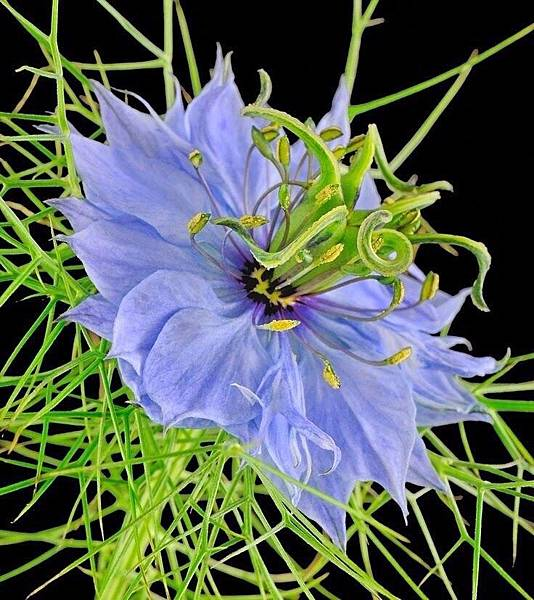黑種草花蕾