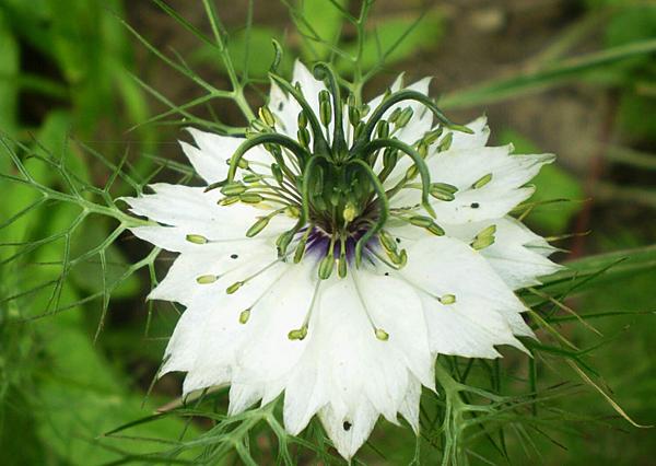 白色黑種草花(RA黑種草)