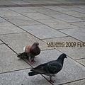 八阪神社前的鴿子