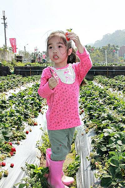 這顆草莓很大喔!