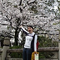 到處都是櫻花的京都