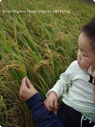旁邊還有稻子