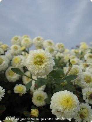 有淡淡的菊花香