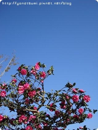 茶花也好漂亮,天氣超好