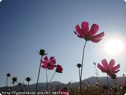 波斯菊依然這麼美麗