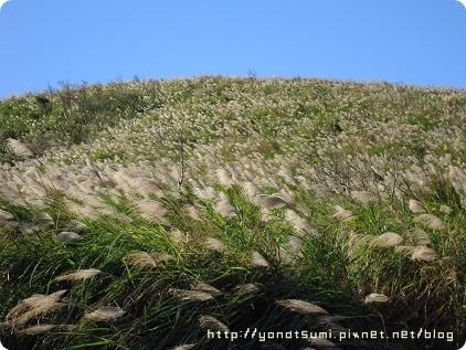 一整片芒草也是很美