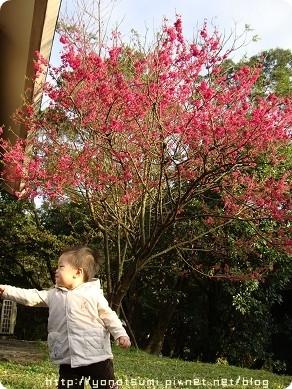 櫻花開了三成