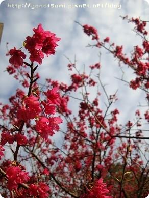 我不太會拍台灣的櫻花