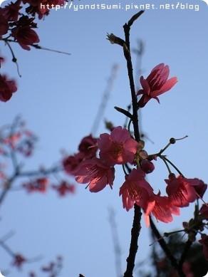 櫻花都不大朵
