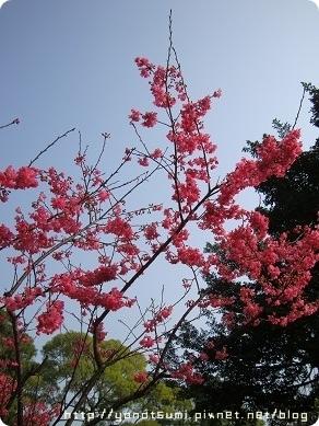 淡水櫻花也開了很多