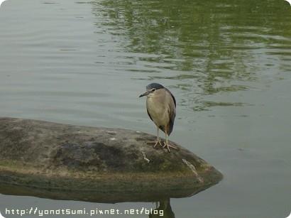 去台大的湖看見很多鳥,生態有夠豐富