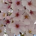 天王寺的櫻花品種不太一樣
