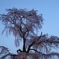 圓山公園裡那顆很有名的櫻花
