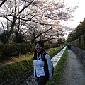 小路裡的櫻花