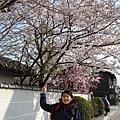 京都的櫻花