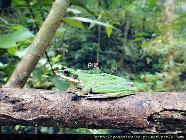 20150922_YSL01_1_001樹蛙_6.jpg