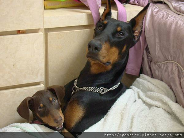 杜賓犬 Echo 7個月大