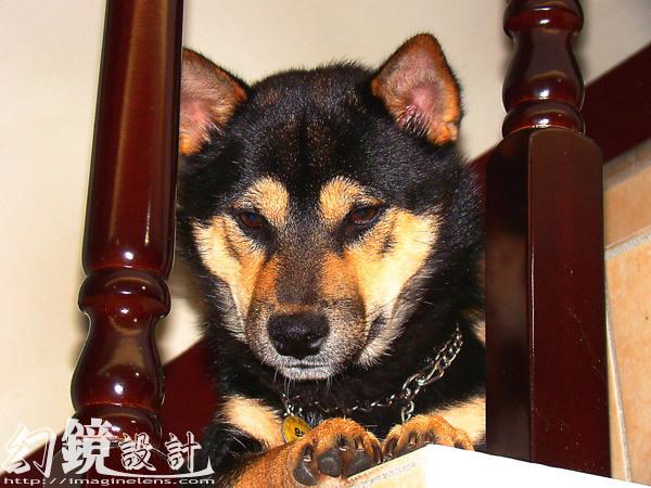 黑柴犬_哈魯
