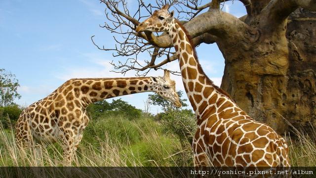 00821_giraffegathering_2560x1600.jpg