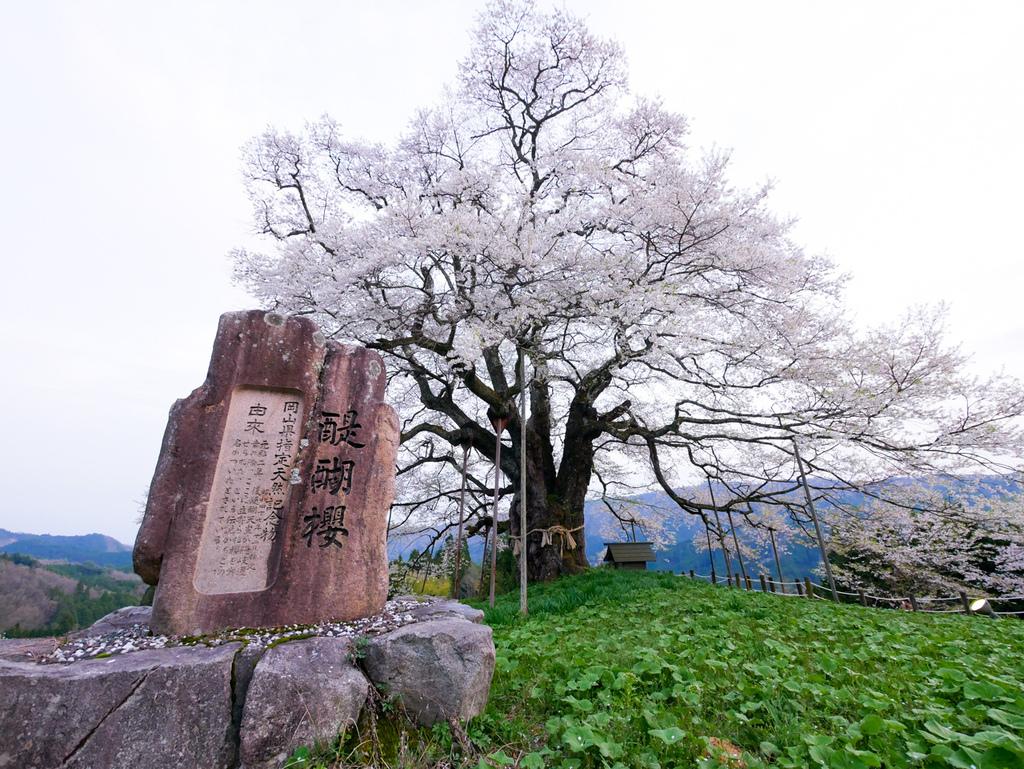 倉吉與醍醐櫻-40.jpg
