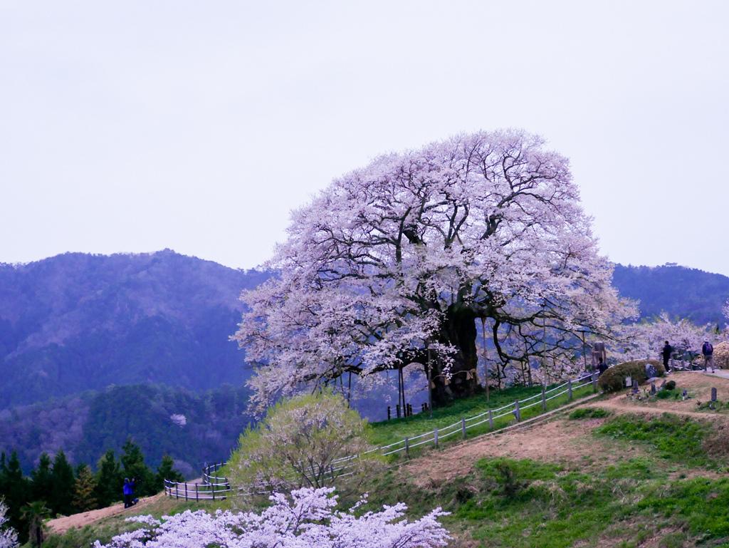 倉吉與醍醐櫻-43.jpg