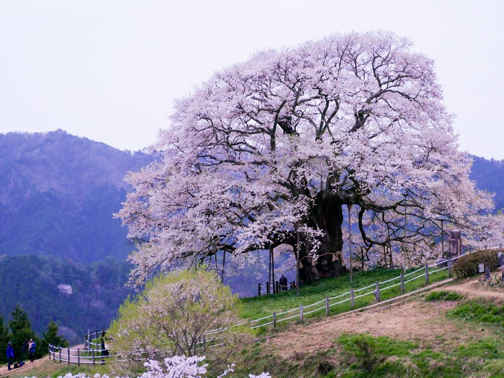 倉吉與醍醐櫻-42.jpg