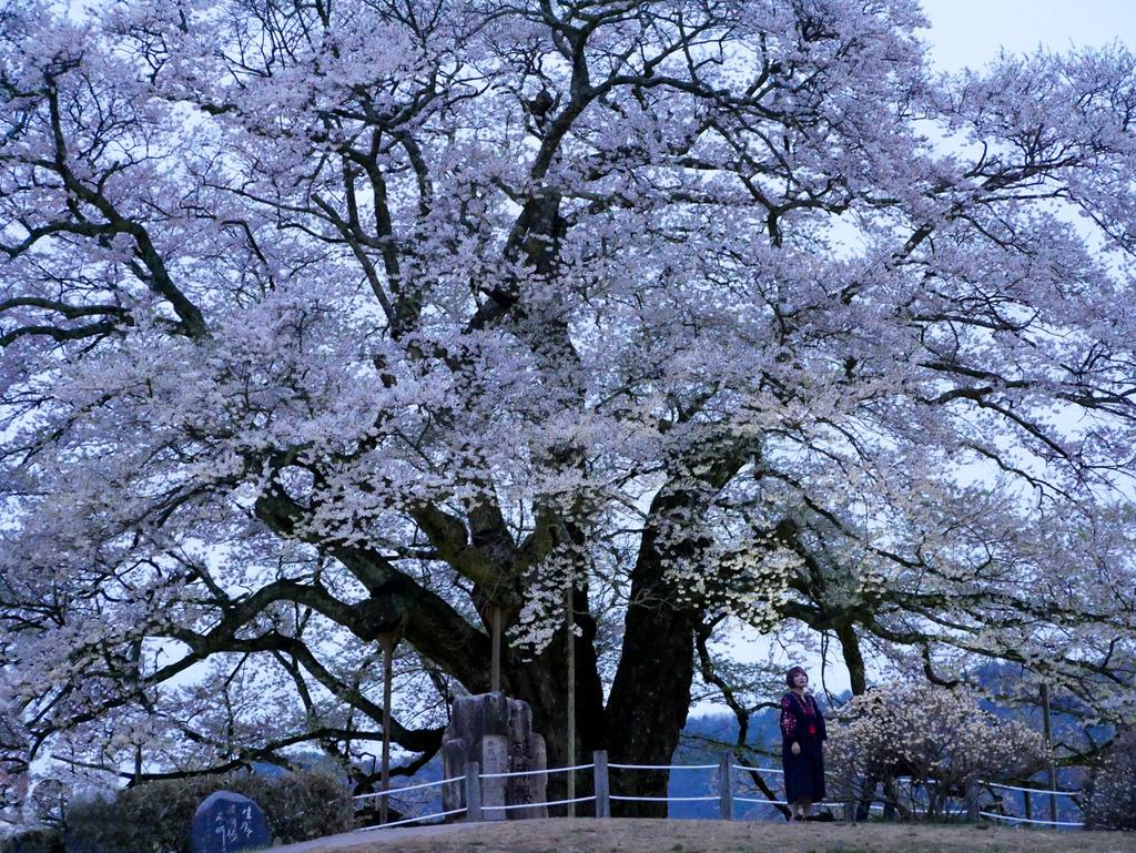倉吉與醍醐櫻-44-1.jpg