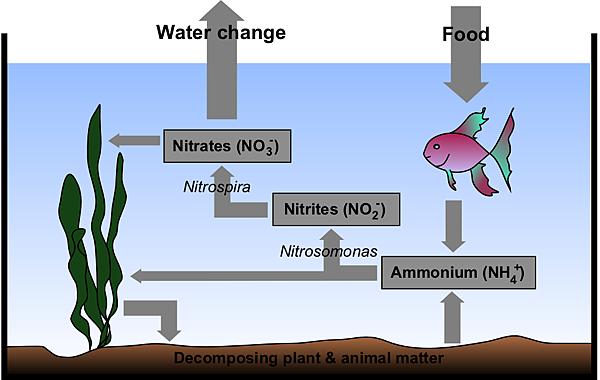 Aquarium_Nitrogen_Cycle