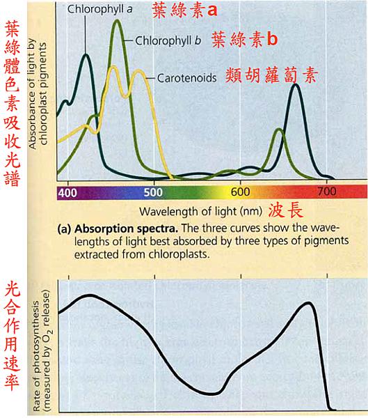 光合作用吸收光譜