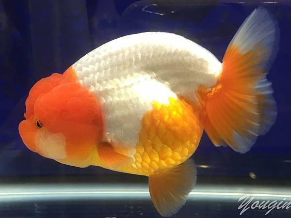 金魚比賽1