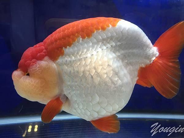 金魚比賽2