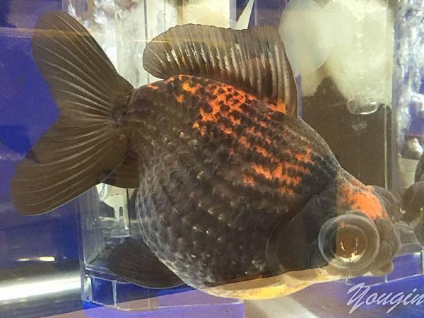 金魚比賽3