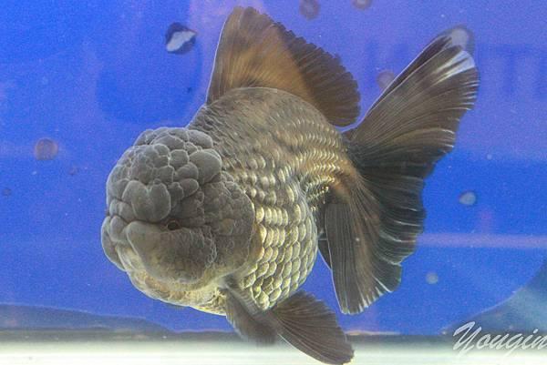 金魚比賽4