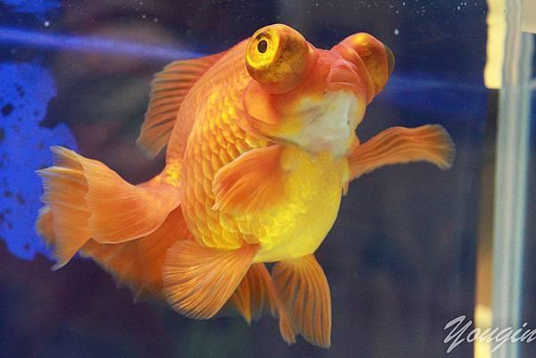 金魚比賽6
