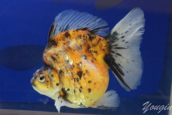 金魚比賽7
