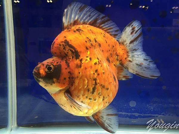 金魚比賽8