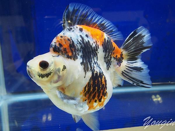 金魚比賽9