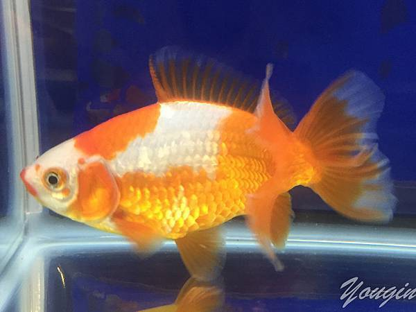金魚比賽10