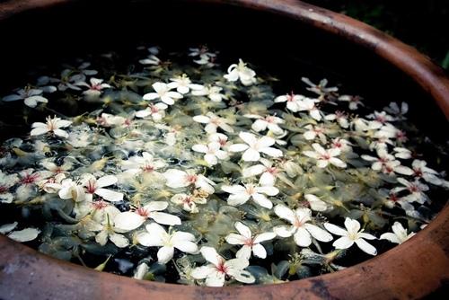 彰化桐花季