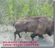 2014.08.03黃石公園的牛