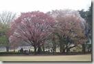 2016.04.03新宿御苑。今天天氣很好,又是周日,可以看到櫻花樹下許多人在野餐。-2