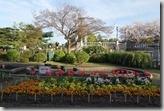 2016.04.05名古屋的鶴舞公園。-3
