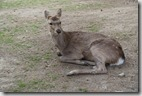 2016.04.06奈良公園餵鹿。-2