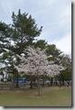 2016.04.06奈良公園的櫻花。