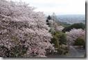 2016.04.06奈良的民宿。民宿房間是傳統日式風格。從房間就可看到窗外美麗盛開的櫻花。-4
