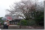 2016.04.07八阪神社、圓山公園欣賞雨中的櫻花。-1