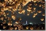 2016.04.07清水寺的夜櫻。-10